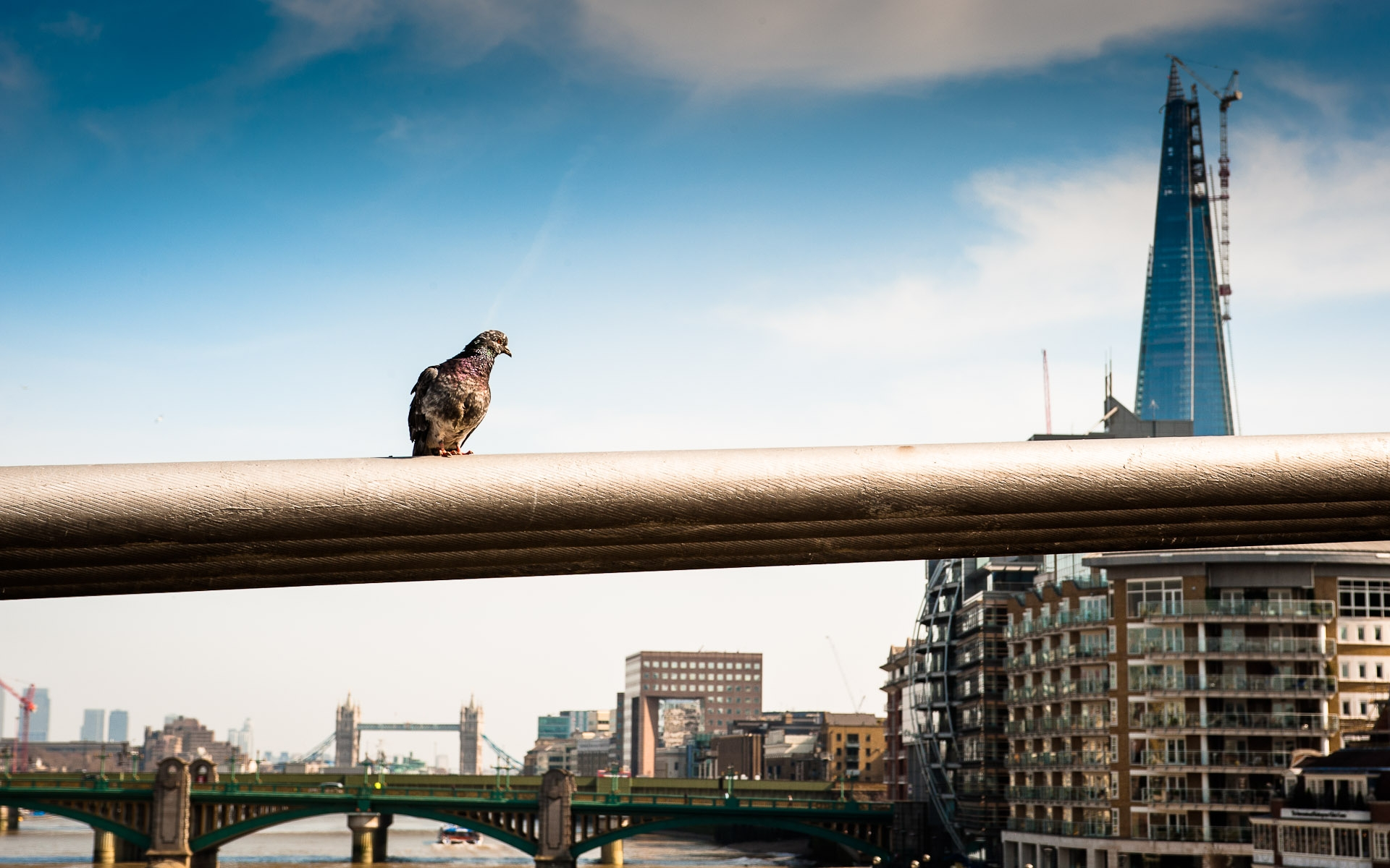 pigeon sat on bridge with the shard and tower bridge in background